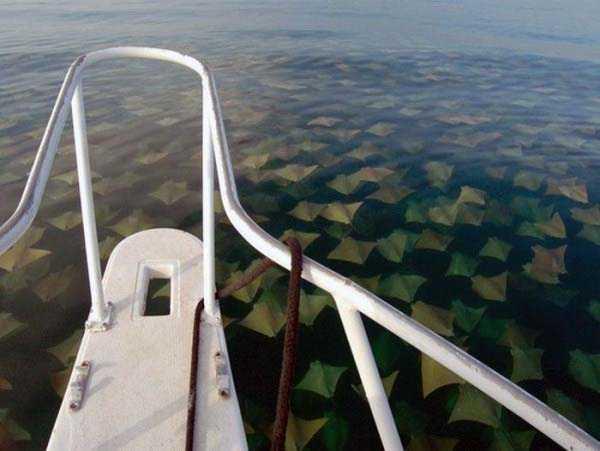 migration-of-stingrays (1)