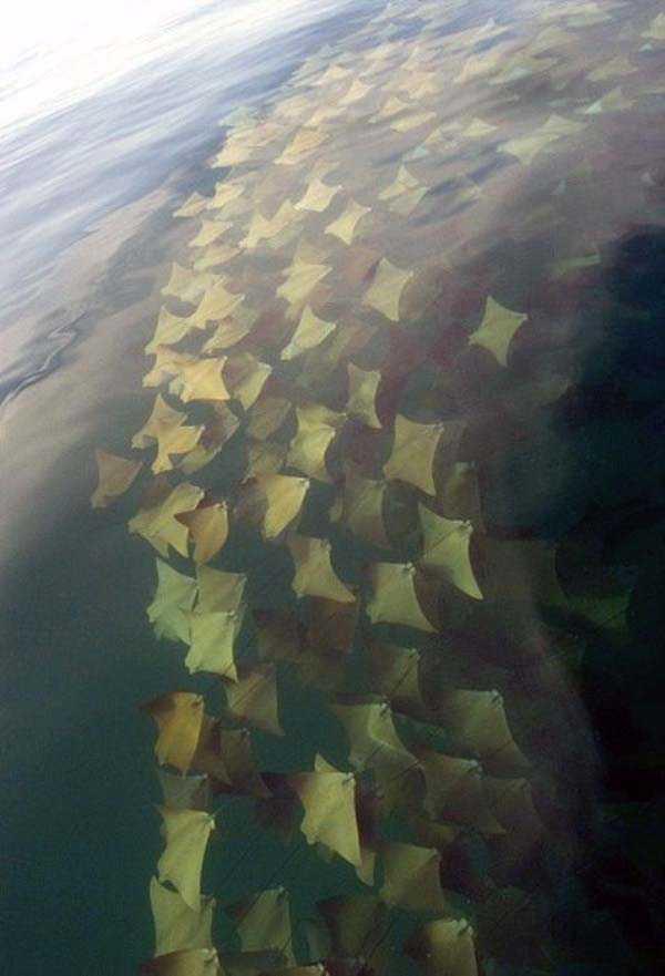 migration-of-stingrays (2)