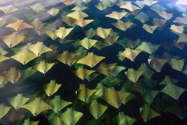 migration-of-stingrays (3)