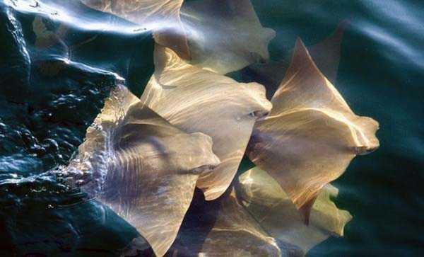 migration-of-stingrays (4)