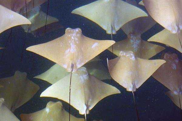 migration-of-stingrays (5)