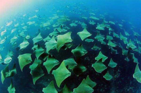 migration-of-stingrays (7)