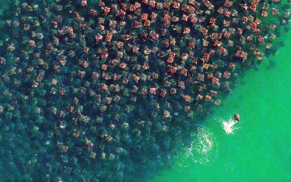 migration-of-stingrays (8)