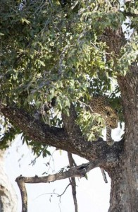 Young Leopard Showing His Innate Hunting Skills (10 photos) 1