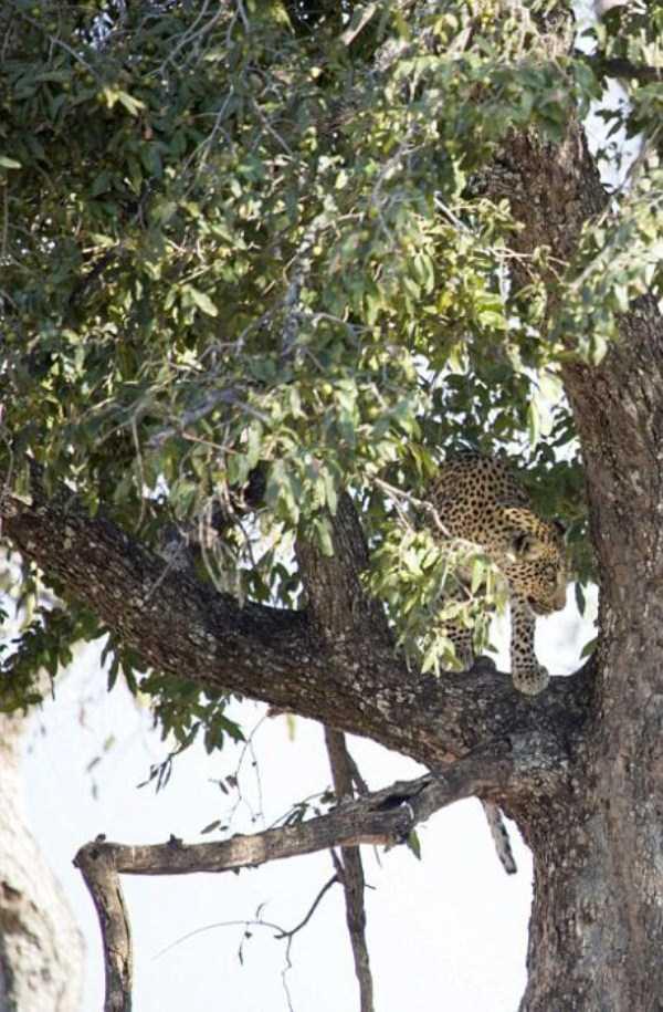 wild-leopard-hunting (1)