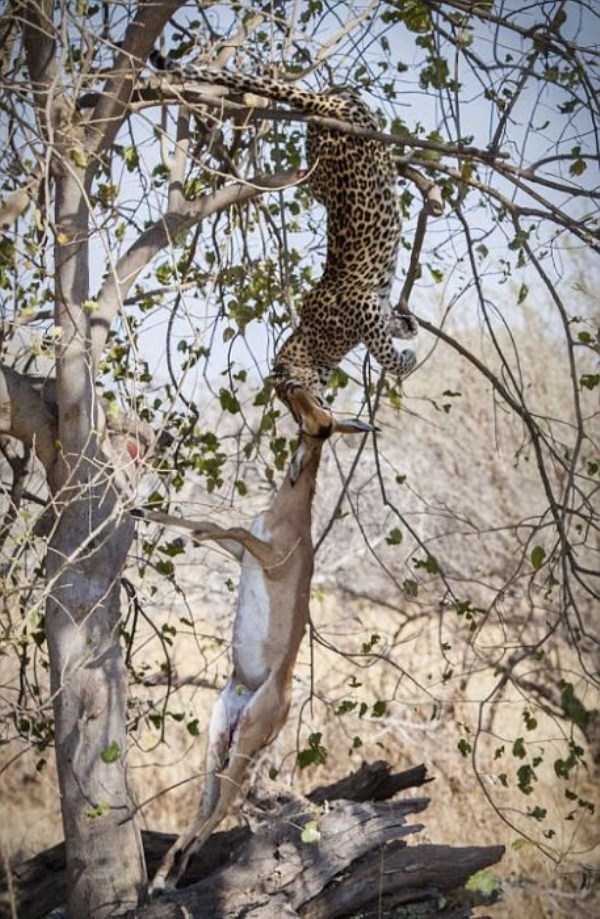 wild-leopard-hunting (10)