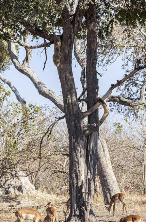 wild-leopard-hunting (2)