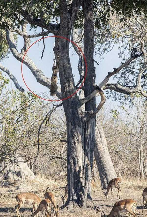 wild-leopard-hunting (3)