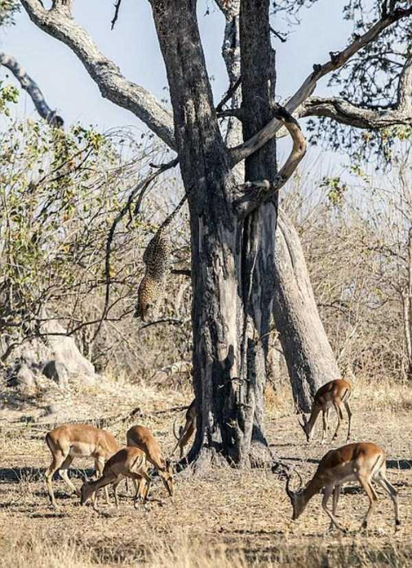 wild-leopard-hunting (4)