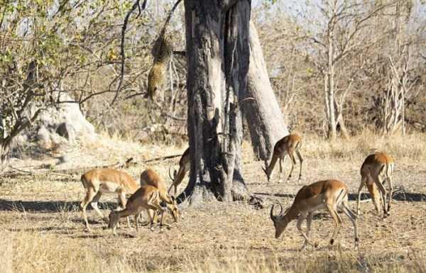 wild-leopard-hunting (5)