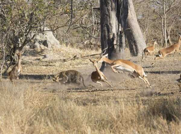 wild-leopard-hunting (6)