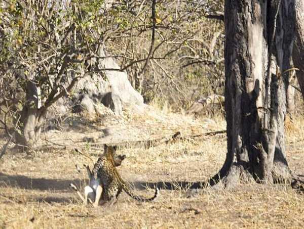 wild-leopard-hunting (7)
