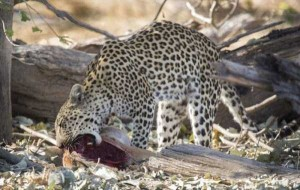 Young Leopard Showing His Innate Hunting Skills (10 photos) 8