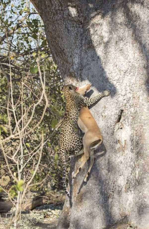 wild-leopard-hunting (9)
