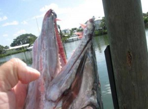 Incredibly Bizarre Fishing Accident (6 photos) 3