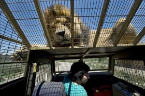 Zoo In Chile Lets The Brave Tickle A Lion's Belly (14 photos) 10