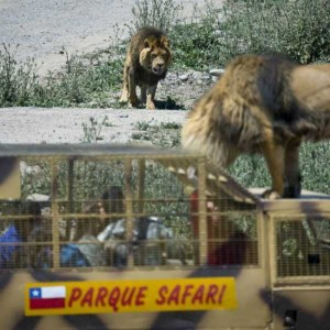 Zoo In Chile Lets The Brave Tickle A Lion's Belly (14 photos) 11