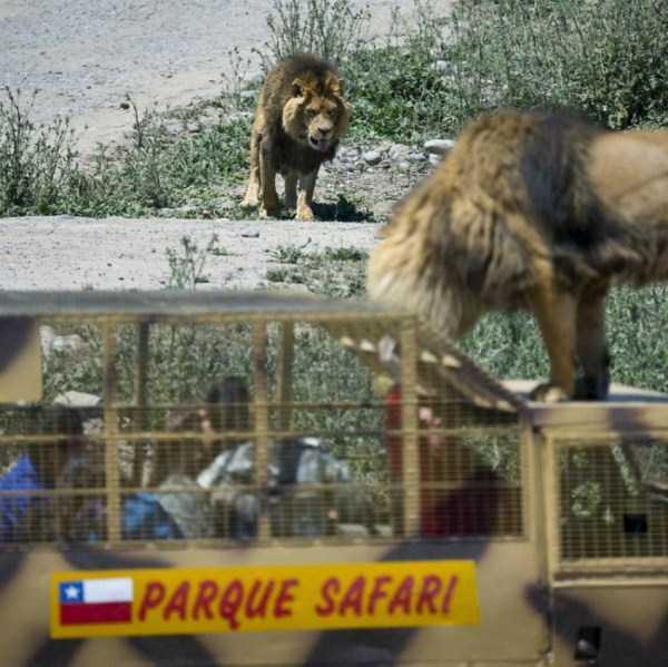 Safari-Lion-Zoo-in-Rancagua-Chile (11)