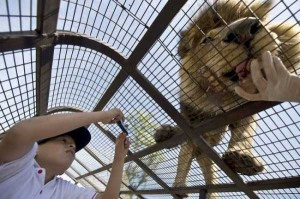 Zoo In Chile Lets The Brave Tickle A Lion's Belly (14 photos) 12