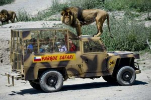 Zoo In Chile Lets The Brave Tickle A Lion's Belly (14 photos) 13