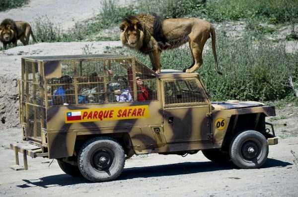 Safari-Lion-Zoo-in-Rancagua-Chile (13)