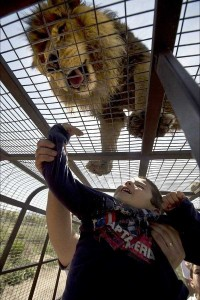 Zoo In Chile Lets The Brave Tickle A Lion's Belly (14 photos) 14