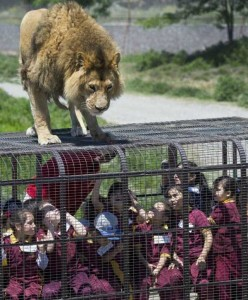 Zoo In Chile Lets The Brave Tickle A Lion's Belly (14 photos) 2