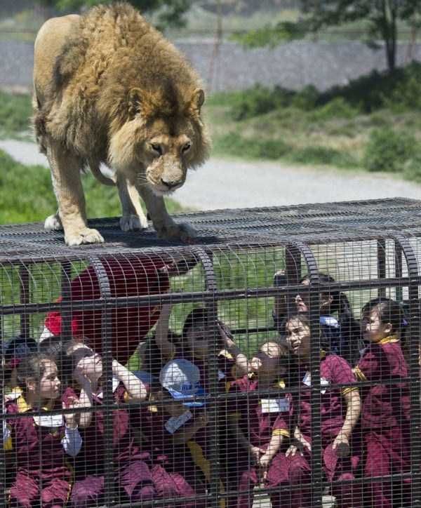 Safari-Lion-Zoo-in-Rancagua-Chile (2)