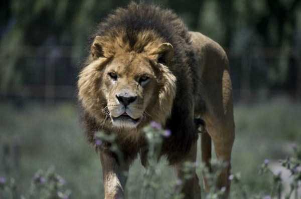 Safari-Lion-Zoo-in-Rancagua-Chile (4)