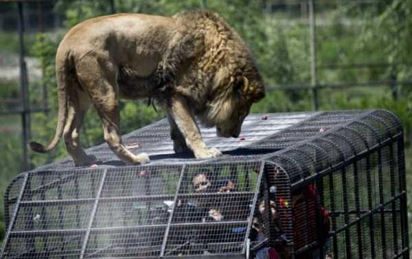 Safari-Lion-Zoo-in-Rancagua-Chile (5)