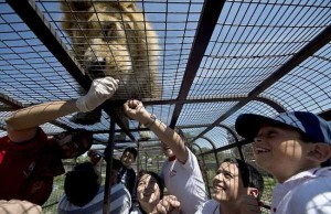 Zoo In Chile Lets The Brave Tickle A Lion's Belly (14 photos) 6