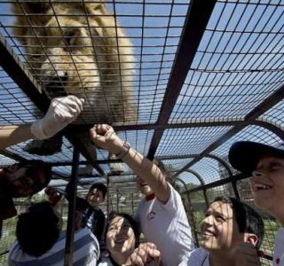 Zoo In Chile Lets The Brave Tickle A Lion's Belly (14 photos)