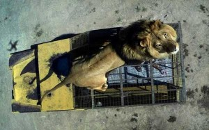 Zoo In Chile Lets The Brave Tickle A Lion's Belly (14 photos) 7