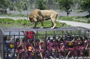 Zoo In Chile Lets The Brave Tickle A Lion's Belly (14 photos) 9