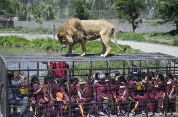 Safari-Lion-Zoo-in-Rancagua-Chile (9)