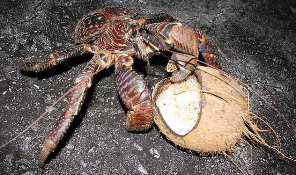 coconut-crabs (10)