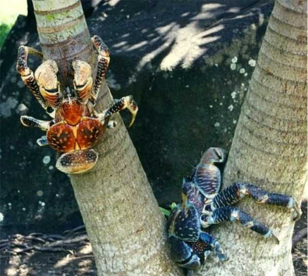coconut-crabs (11)