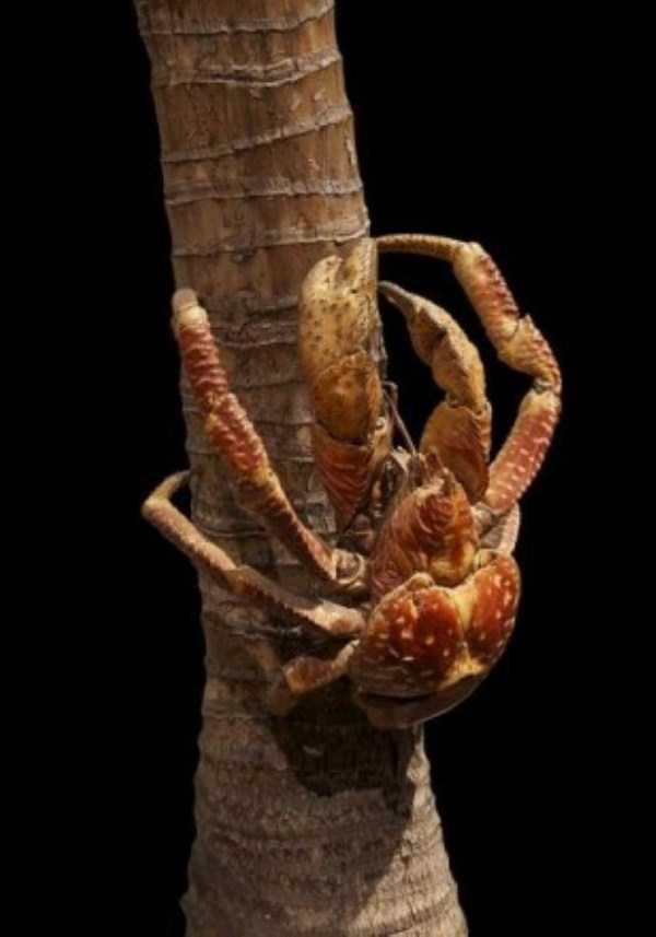 coconut-crabs (13)