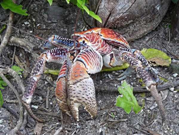 coconut-crabs (14)