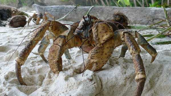 coconut-crabs (15)