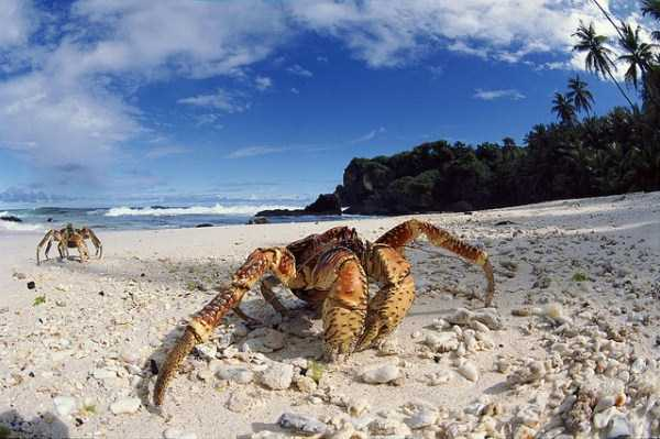 coconut-crabs (19)