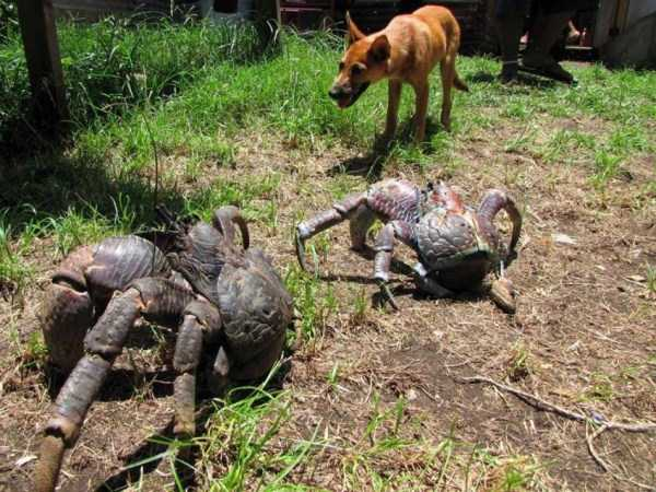 coconut-crabs (2)