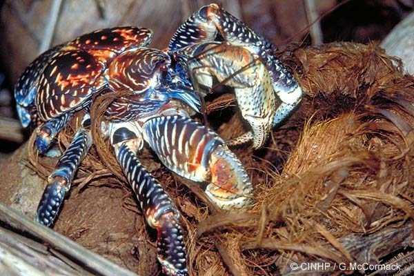 coconut-crabs (20)