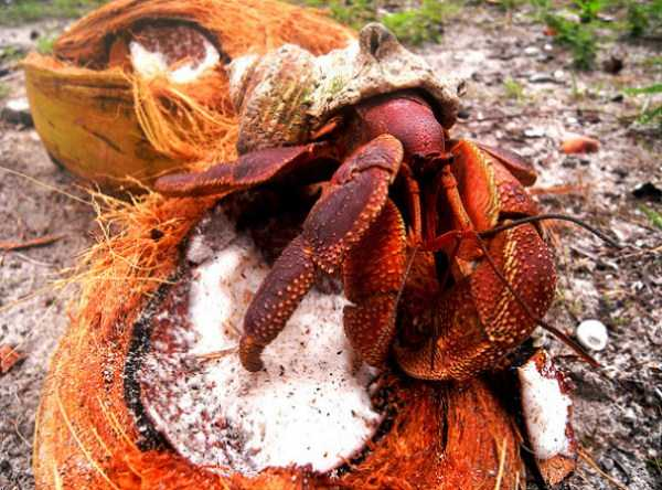 coconut-crabs (21)