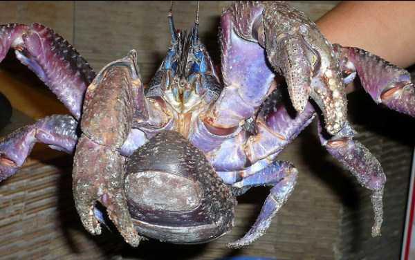 coconut-crabs (22)