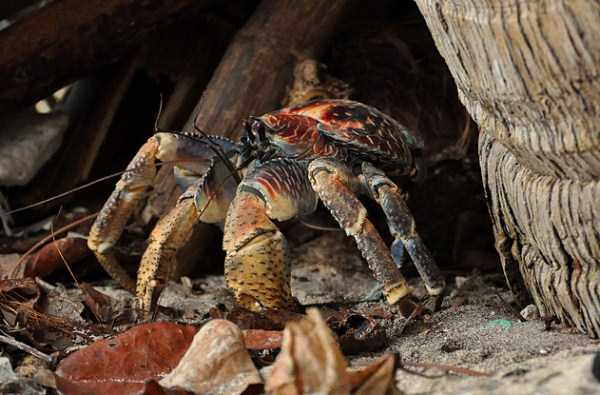 coconut-crabs (23)