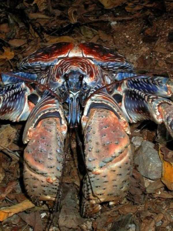 coconut-crabs (25)