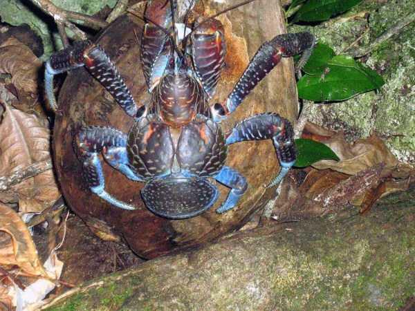 coconut-crabs (27)
