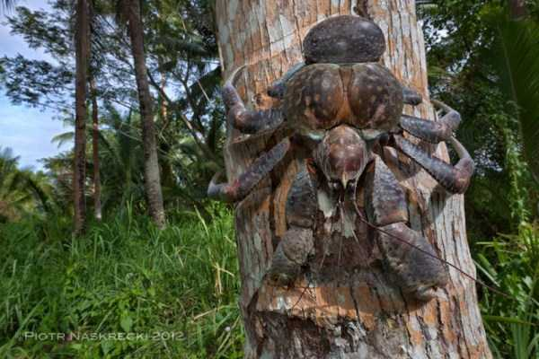 coconut-crabs (28)