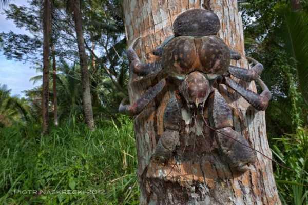 coconut-crabs (28)